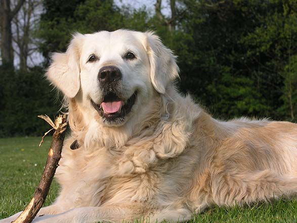 """Dogs """"Co-evolved"""" to Live with Humans"""
